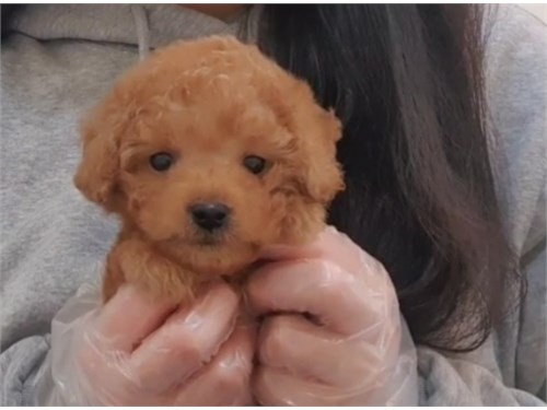 Teacup Toy Red Poodle