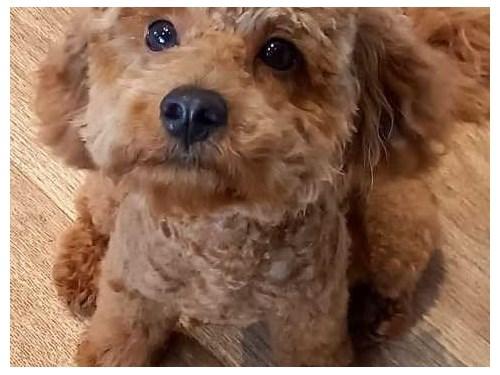 Beautiful Maltipoo Puppie