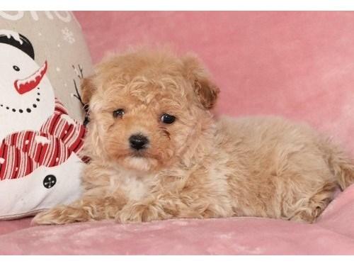 Malti Poo Puppy for Sale