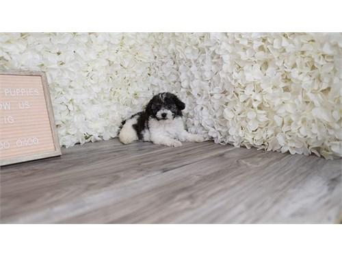Shipoo puppies puppy