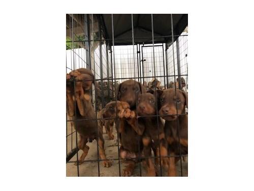 European Doberman Puppies