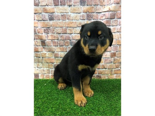 rottweiler pups for sale