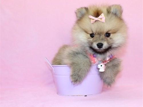 Brown Pomeranian Pups