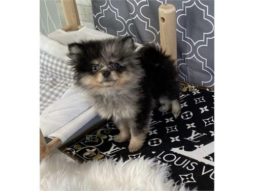 Missy- tiny Merle pom
