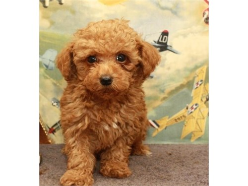 Toy Poodles Puppies