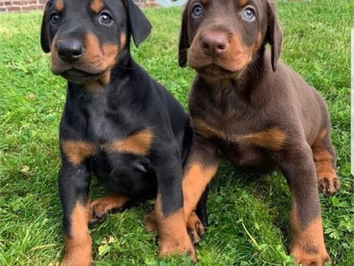 Champion Doberman puppies