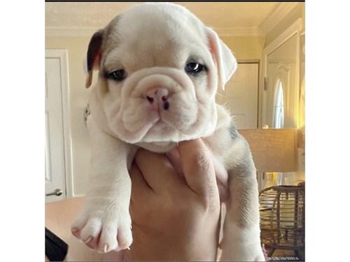 Male English bulldog pup