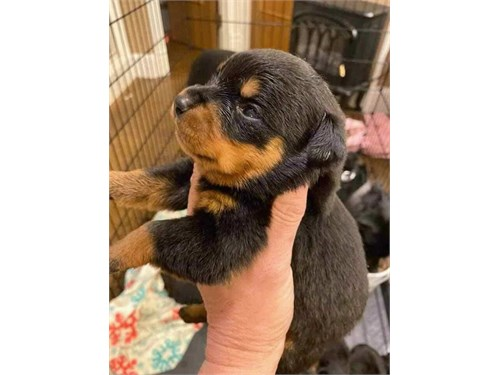 Baby Rottie For Sale