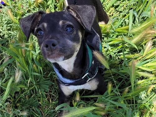Chihuahua Mini Dachshund
