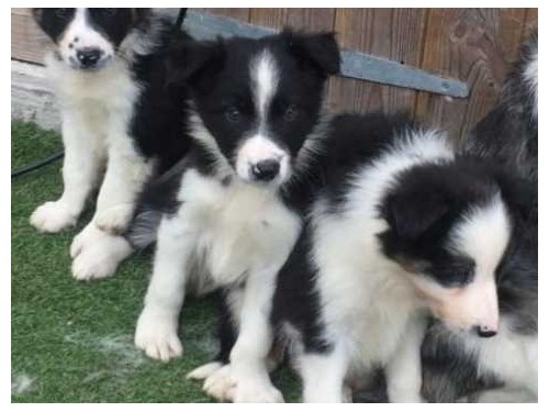 Active Border collie pups