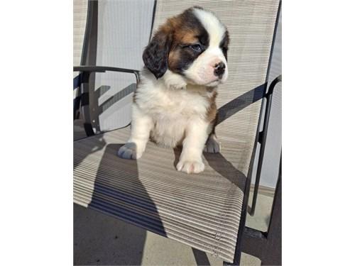 Saly Saint Bernard pups