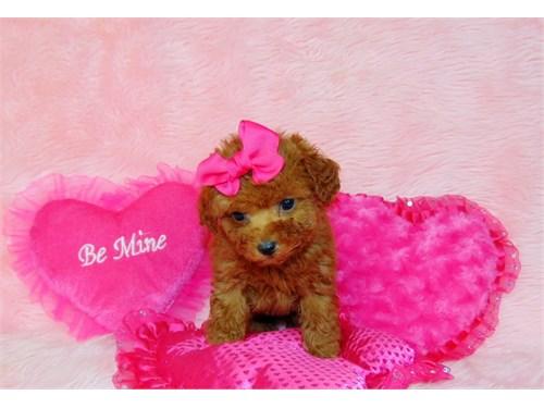 Poodle/tiny toy- female