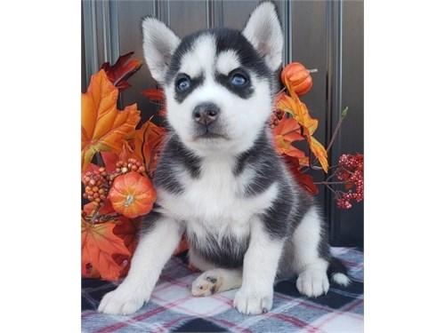 bright Siberian husky pup