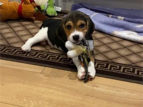 Tricolor Beagle Puppies