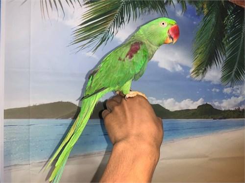 Tame Alexandrine Parrot