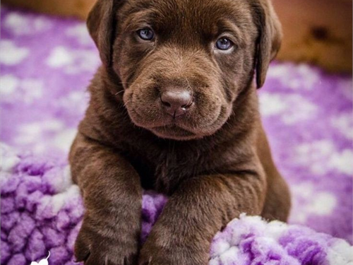 AKC Eng choc Lab puppy