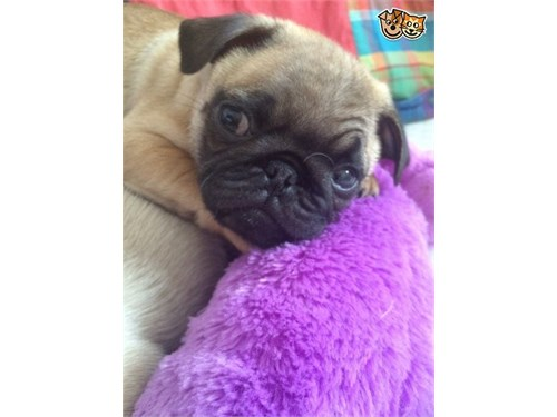 Available F/M Pug Puppies