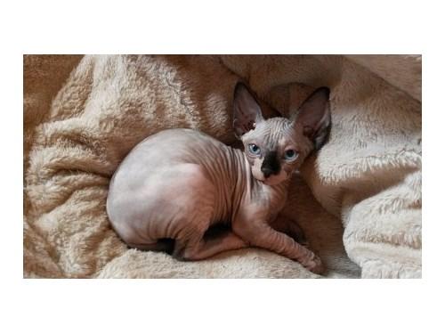 Sphynx-Kittens