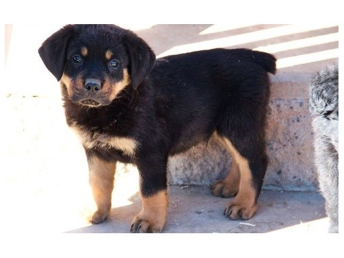 AGREEABLE Rottweiler pup
