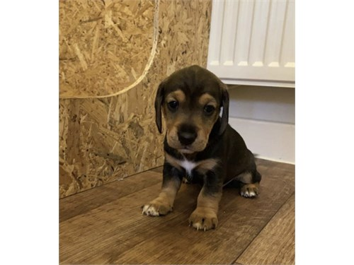 Daushund Pups for sale