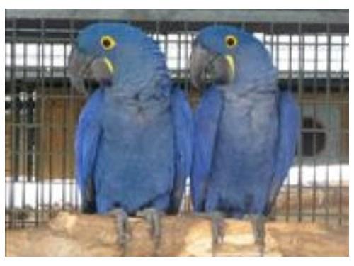 Hycynthia Macaw parrots