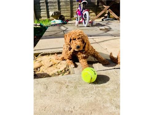 Golden Doodle Pups Reg