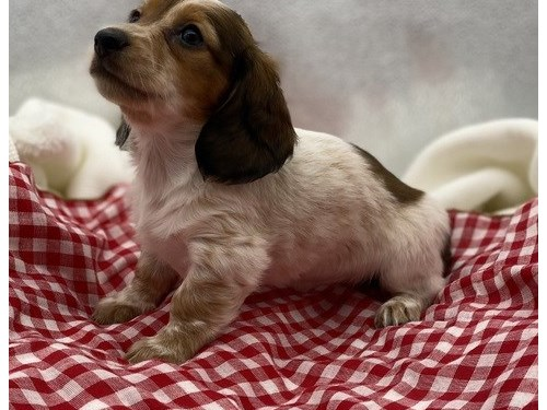 Dachshund puppies for sal