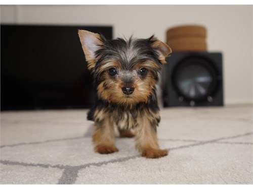 Toy & Teacup Yorkie M//F