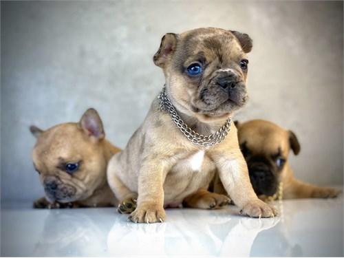 French Bulldog Micro pups