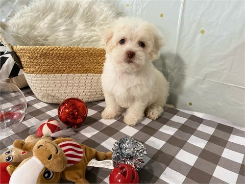 Toy maltipoo white color