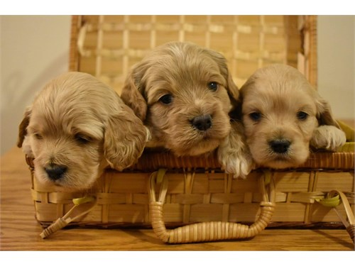 Available Cockapoo