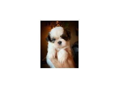 Tri color Shih Tzu Puppy