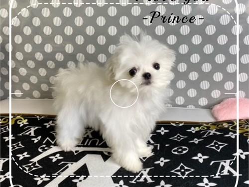 Prince tiny maltese
