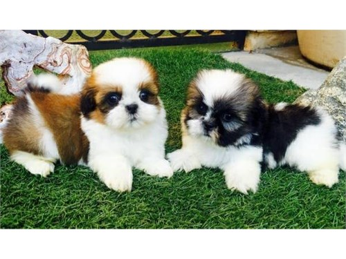 Shizu Pups Available
