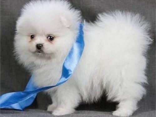 Cute Pomeranian Pups