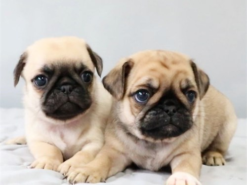 Trained Pure Pugs