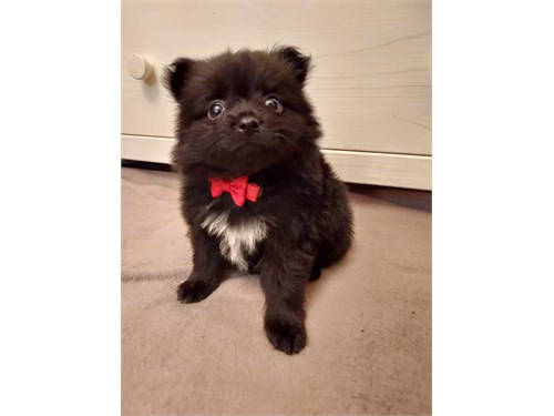 Pomeranian Toy Pup 8wks