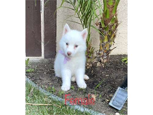 HuskyPom (Pomsky) Puppies
