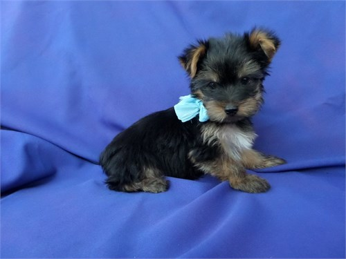 Playful Yorkie Puppies