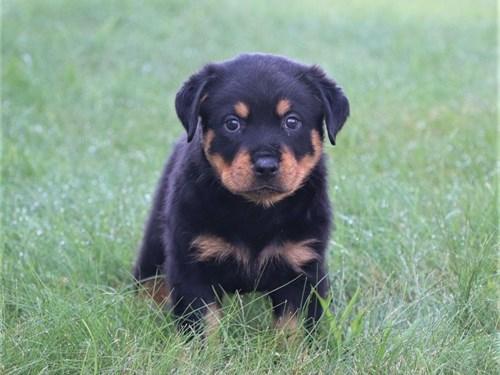 X-mas Trained Rottweiler