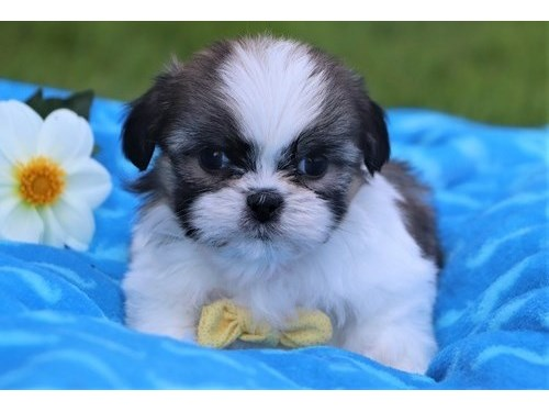 Lovely Shih Tzu pups