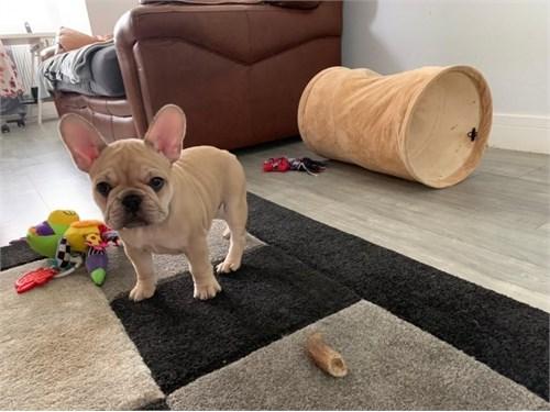 Ramos French Bulldog