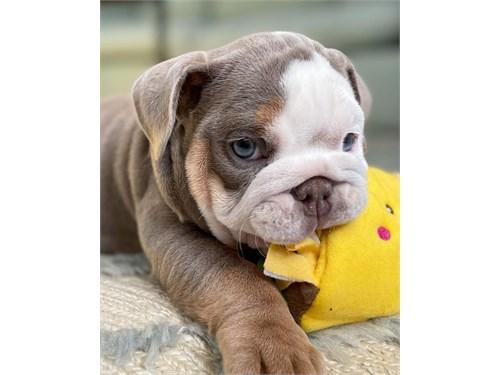 English bulldog puppy AKC