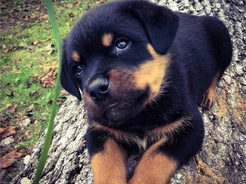 AKC-registered Rottweiler