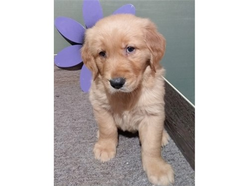 Cute Golden Retreiver