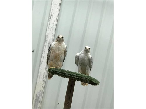 Falcons Birds for Sale