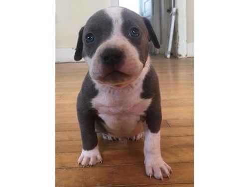 lovely Pit bull Puppies