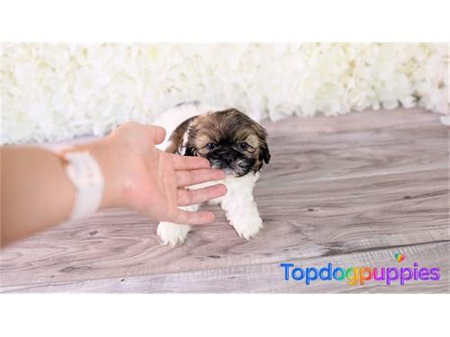 Shih zhu puppy