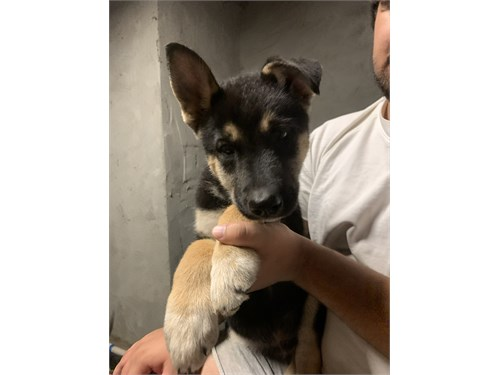 gerberian shepsky puppy