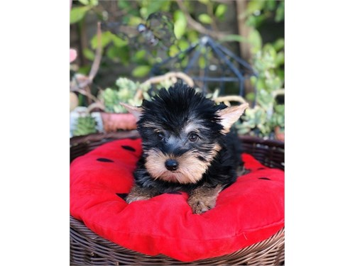 Yorkshire Terrier, Rocky